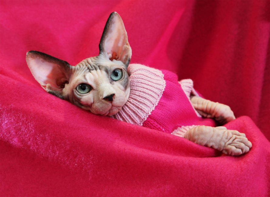 sphinx cat in pink pullover on pink blanket